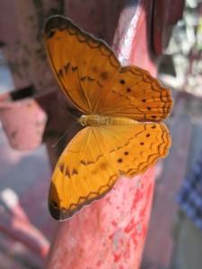 Beautiful orange butterfly, Ta Prohm Temple Complex Cambodia