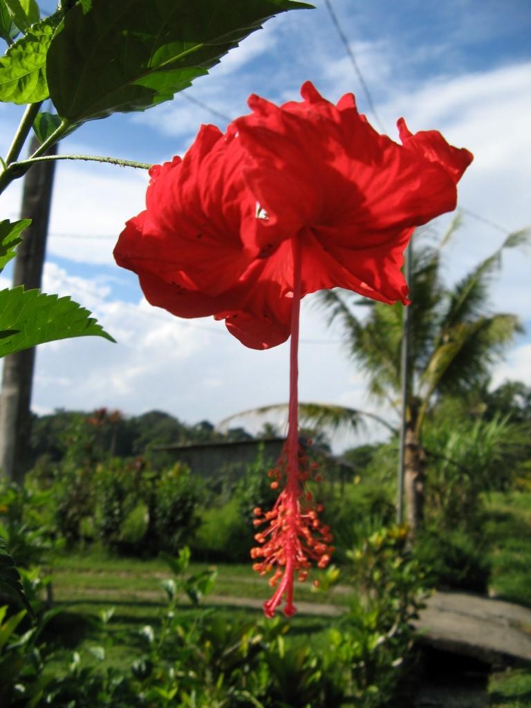 Red hibiscus flower, Ubud, Bali, Indonesia